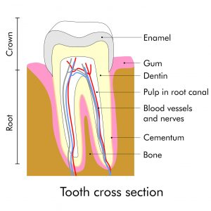 Teeth anatomy with pulp in root canal